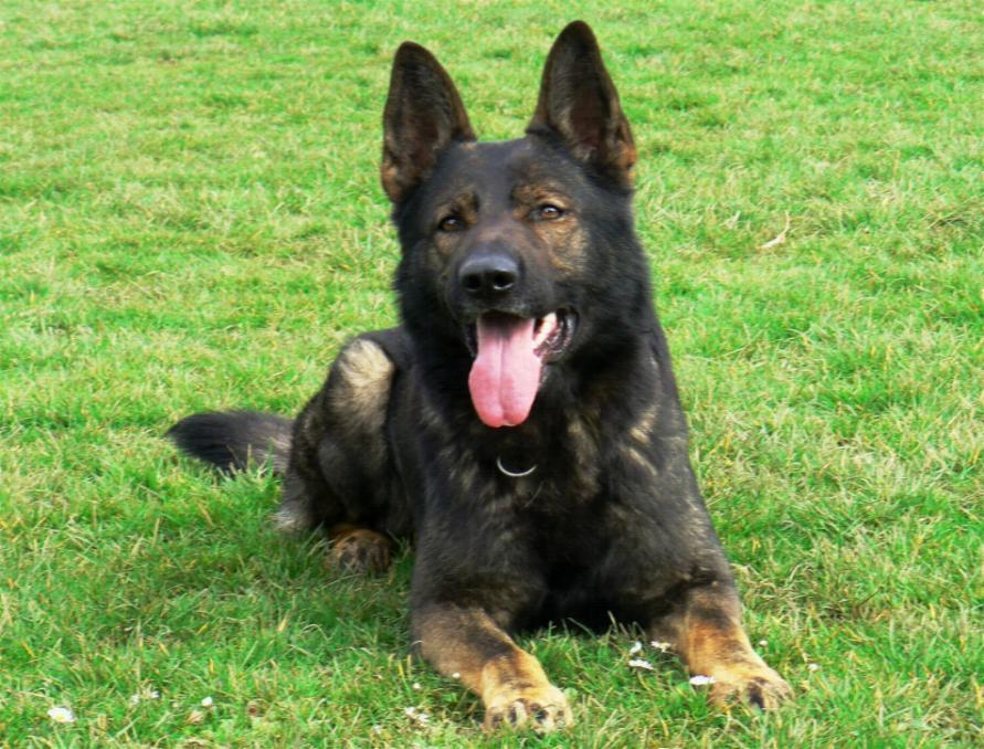 Black Sable German Shepherd Dog